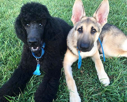 "After dog training: Ash and Nimbus have learned the ""Down"" command"