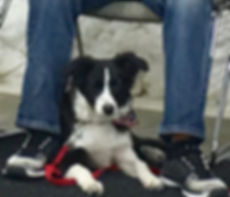 Puppy paying attention in dog training class