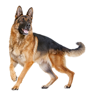 German Shepherd after dog training - we have a special relationship with this breed