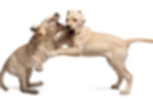 Aggressive dogs seemed programmed to attack. They need special dog training.