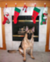 A German Shepherd rescue dog, trained in time to spend the holidays in a forever home