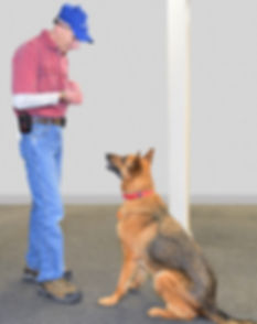 A German Shepherd in dog training, learning basic manners with Eric Baechtold