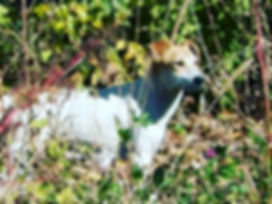 Addie, a feral Jack Russell mix, on the loose before her first rescue