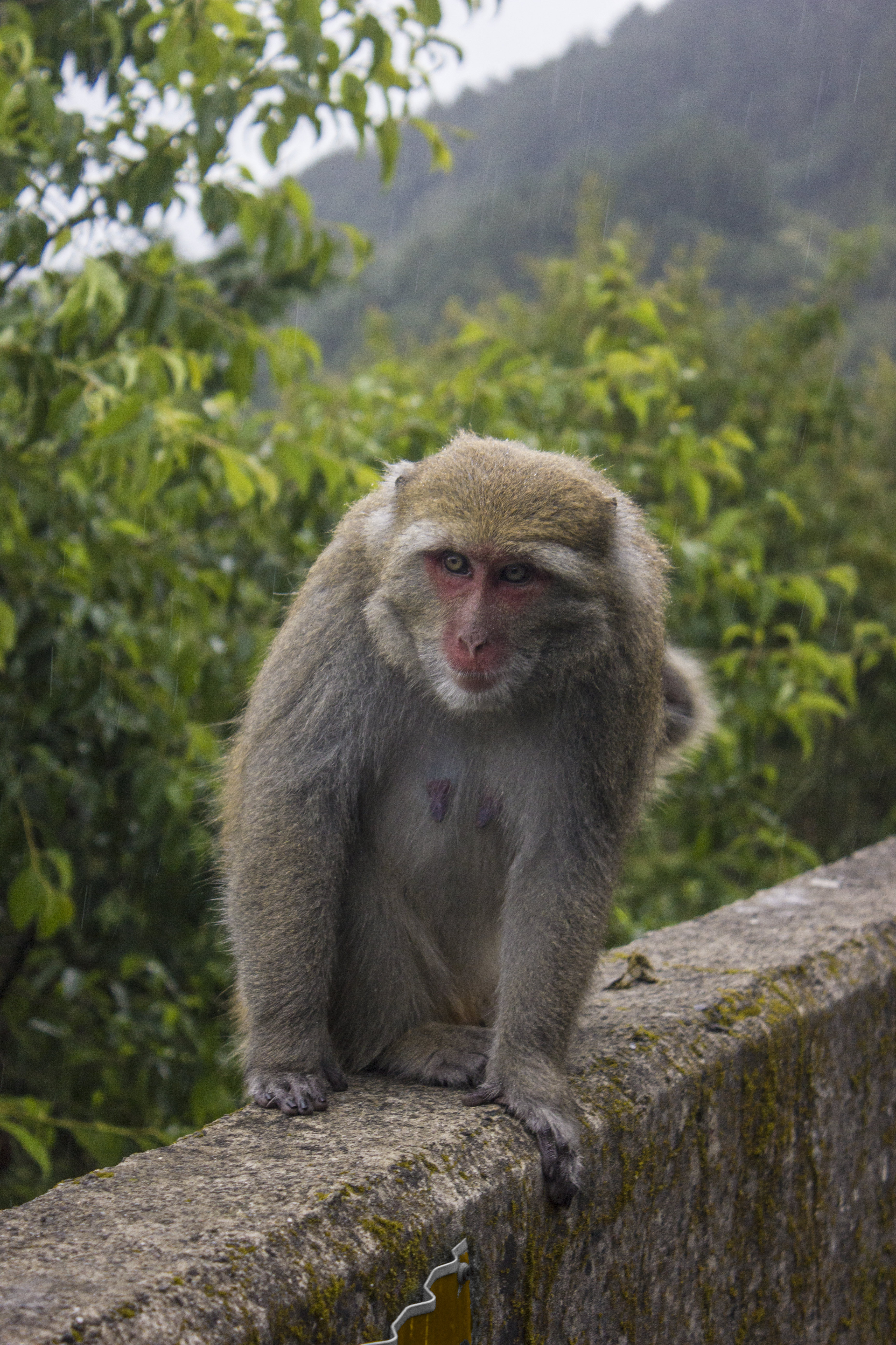 Formosan Macaque in the Rain