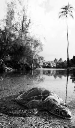 Honu Pond