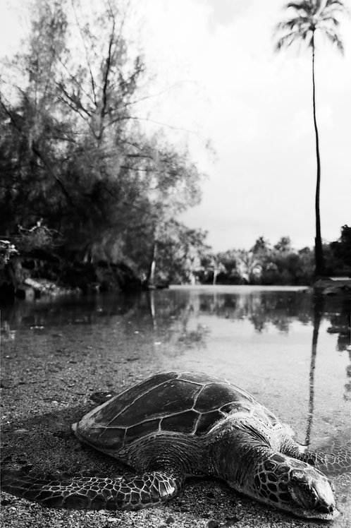 Peaceful Honu Print