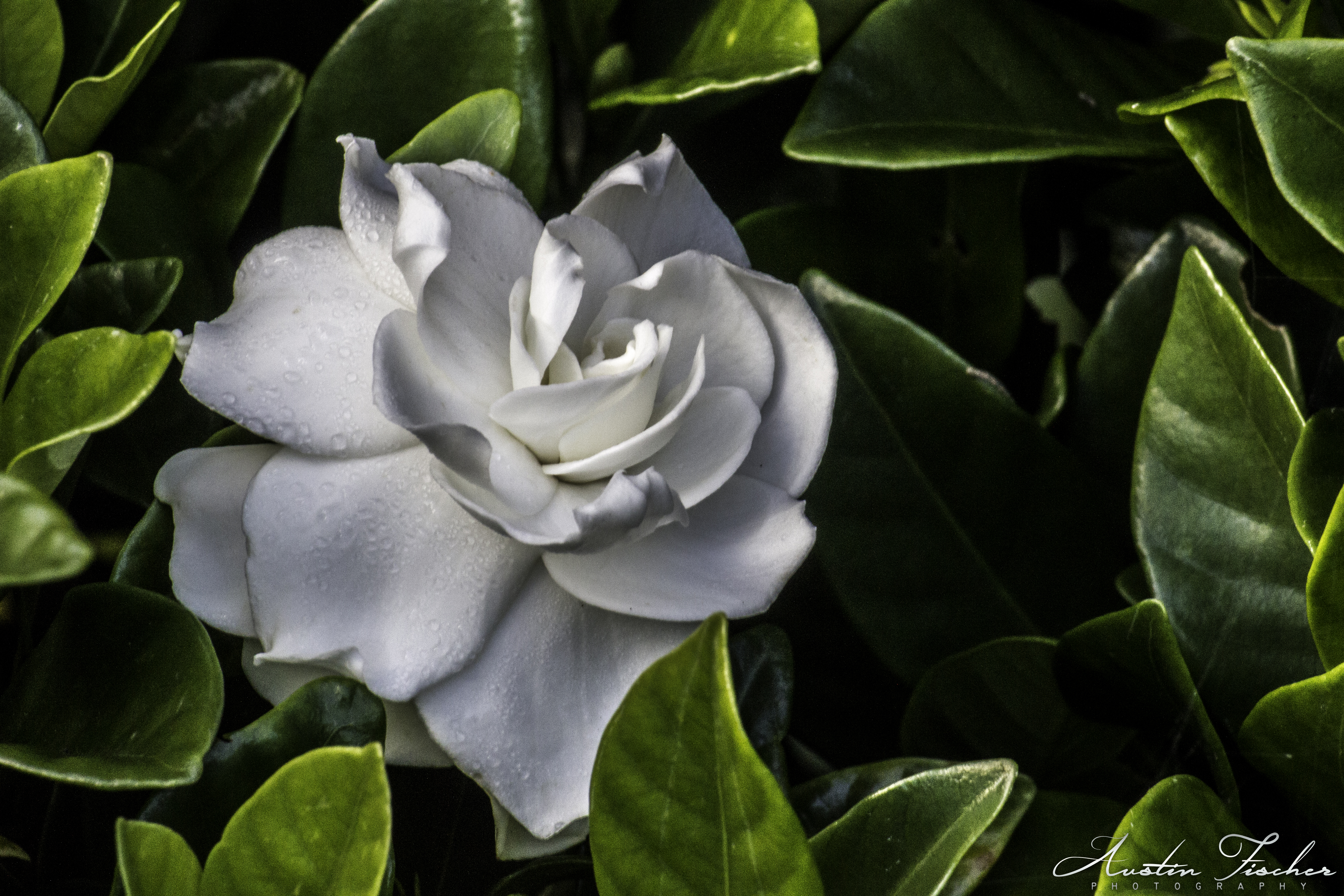 Reinga White Rose
