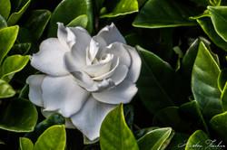 Reinga White Rose