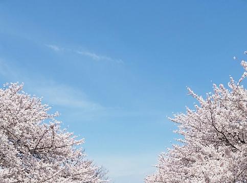 sakura (1).png