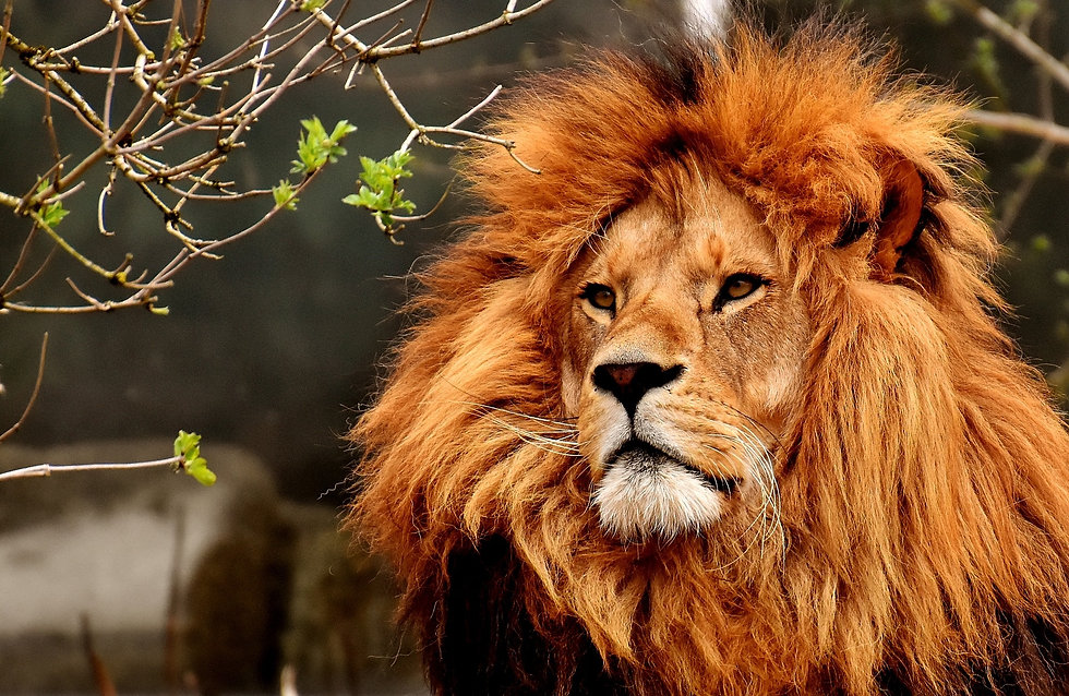 lion pic front page.jpg