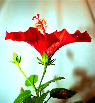 red-flower-thomas-tolkien-cc_edited.jpg