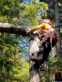 Talon climbing and felling tree top clos