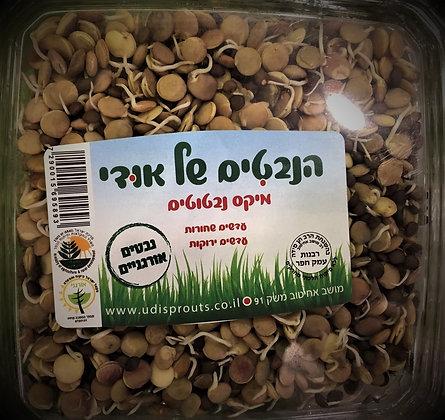 Lentils Sprouts