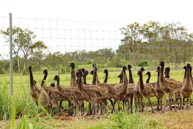 Try It Emu Farm