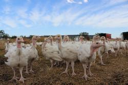 GreenAg Organic Free Range Turkey