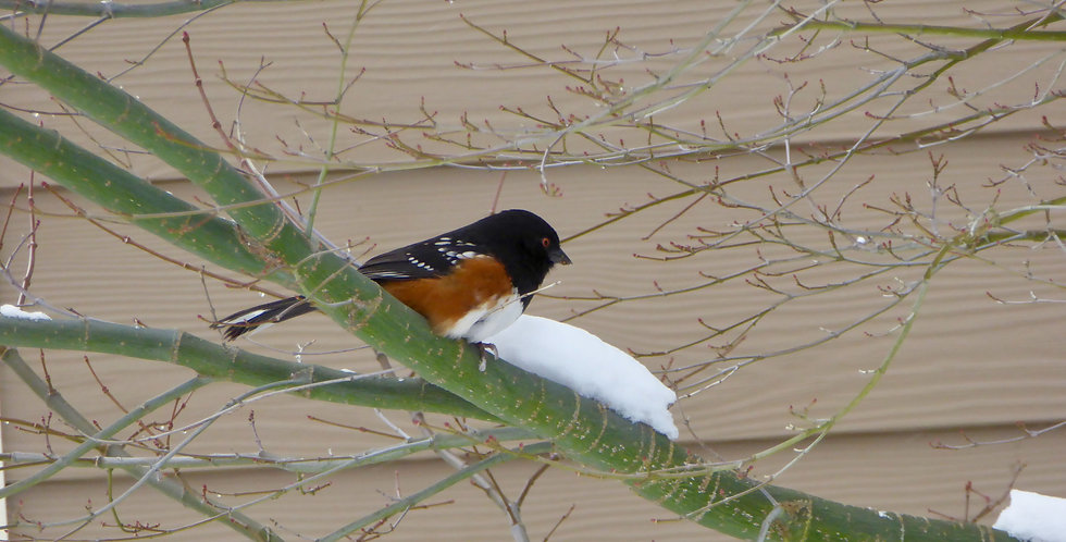 Towhee greeting card with photography by Penny Clayton