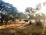 cow-MonarcRanch