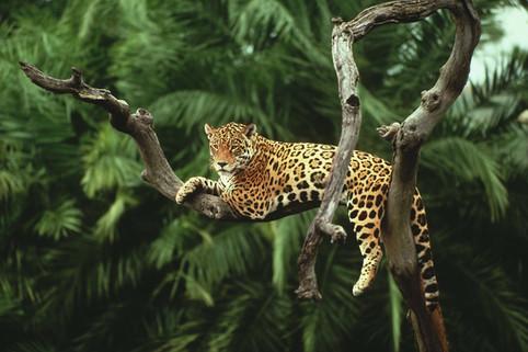 Pantanal-jaguar.jpg