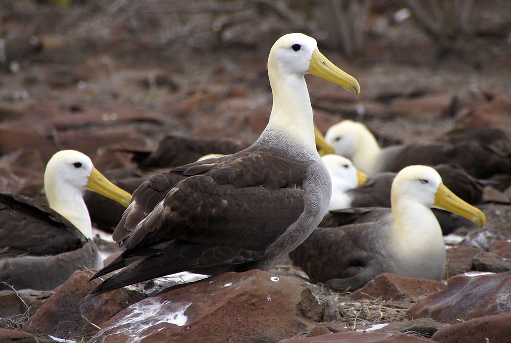 Galapagos Albatrosu