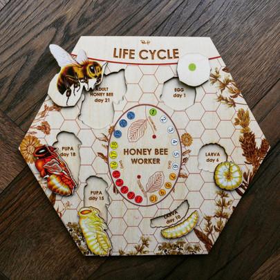 Bee Life cycle.jpg