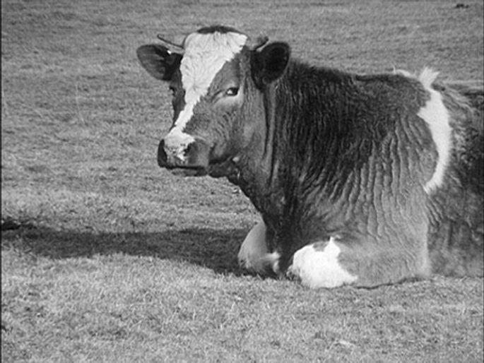 Une vache couchée de profil rumine. Vache qui se tourne vers le spectateur. Image du film de Georges Rey La vache qui rumine en noir et blanc.