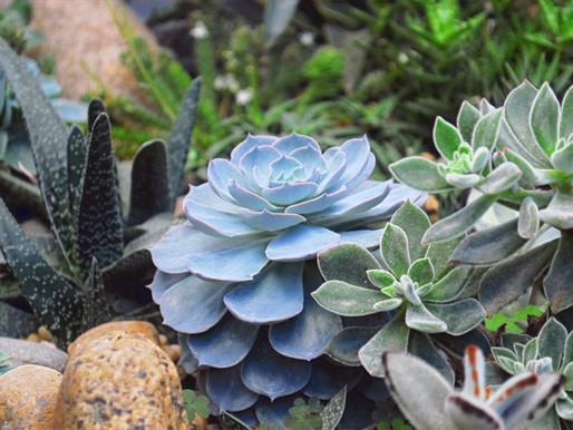 5 Suculentas para Plantar no Jardim