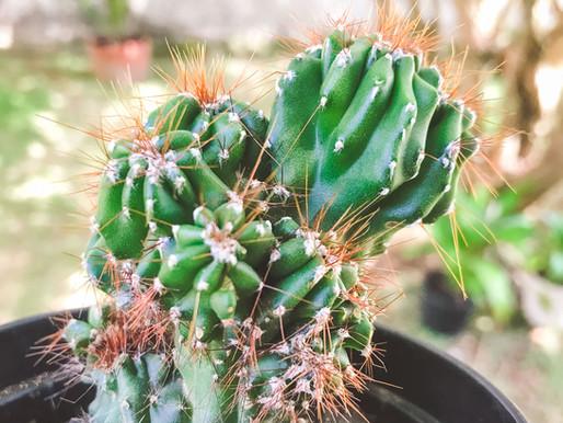 Cereus repandus 'Monstruoso'