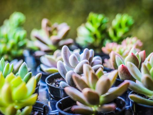 Aprenda os Sinais de Problemas das Suculentas e Cactos