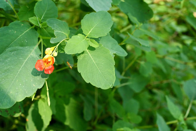 Beneficial Herbs for the Skin: Jewelweed