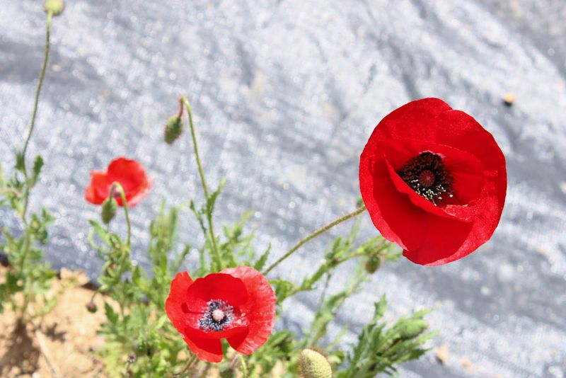In Flanders Fields poem Poppies