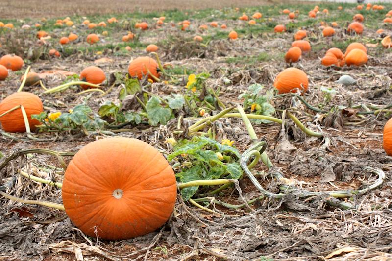 Pumpkins, Dayton, VA