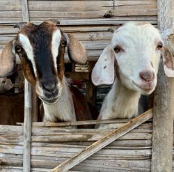 Goats, golly gosh!