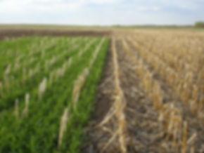 corn covercrop.jpg