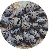 dalmation stones
