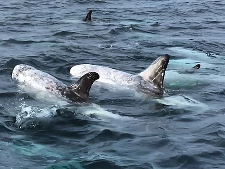 Dolphins and humpback whales, great site seeing while sailing!