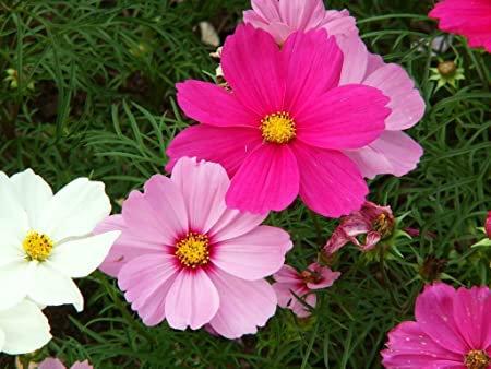 Pink Sensation Cosmos Seeds (edible)