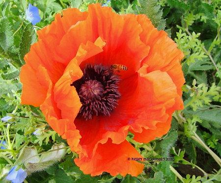 Oriental Poppy Prince of Orange & Princess Victoria Louise Seeds (medicinal)
