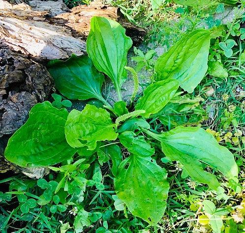 Broad Leaf Plantain Seeds