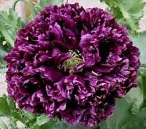 Peony Poppy Black Seeds (medicinal)