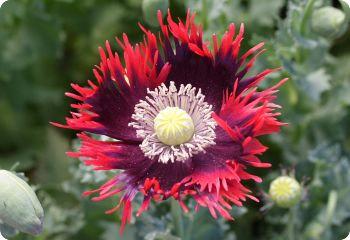 Poppy Drama Queen Seeds (medicinal)
