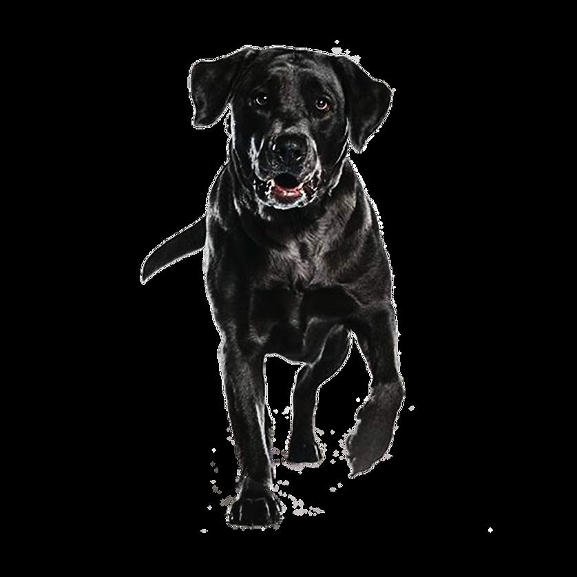 成犬(黑).png