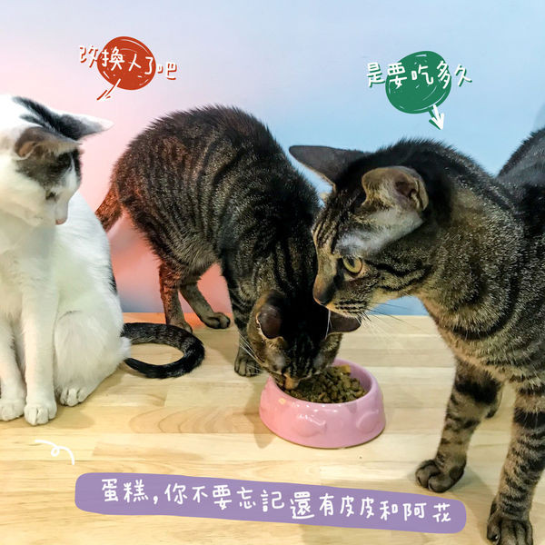 紐崔斯飼料讓三小貓咪很賞臉