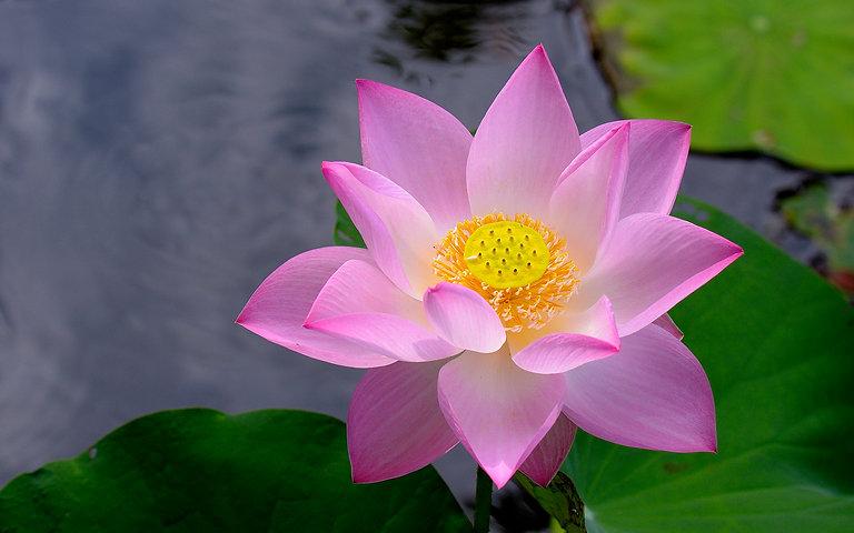 Closeup_Lotus_flower_480991_2880x1800.jp