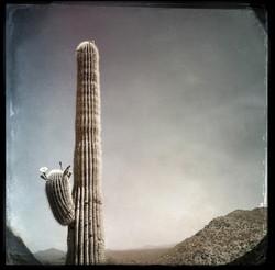 Saguaro #7