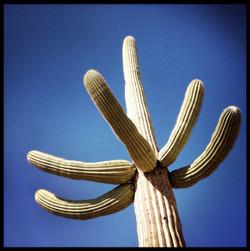 Saguaro #5