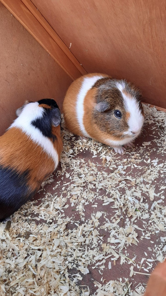 New Family Members Guinea Pigs