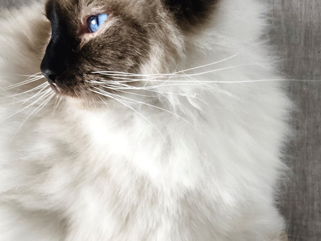 What to know before buying a Ragdoll cat.