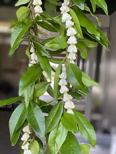 Single Maile Lei with Crown Flower