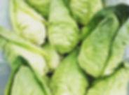 Greyhound Cabbage.jpg