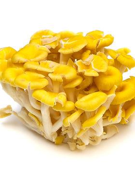 Yellow oyster mushroom-Pleurotus cornuco